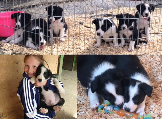 Working Border Collie Pups for Sale